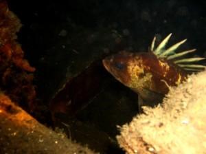 quillback-rockfish
