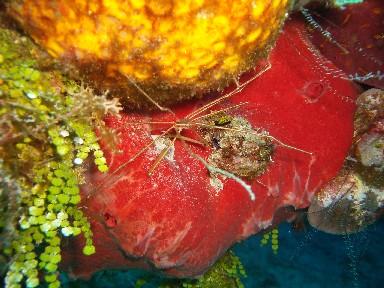 cozumel-20080208-spider-shrimp