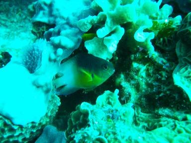 cozumel-damsel-fish