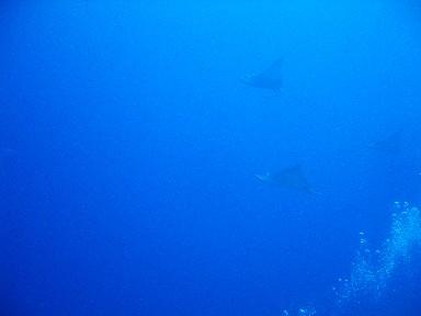 cozd4-eagle-ray-1