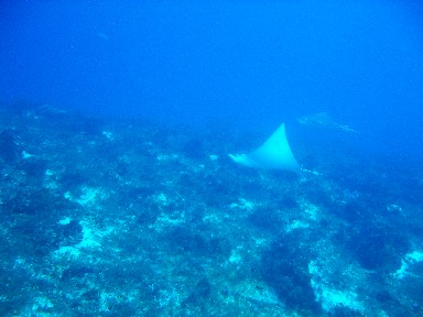 cozd4-eagle-ray-2