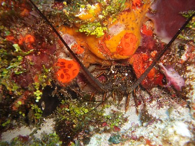 cozd4b-lobster