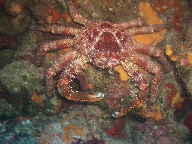 cozd6-crab