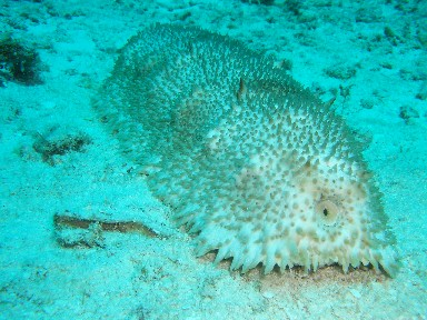 cozd7b-sea-cucumber