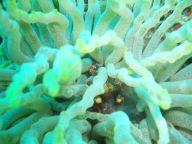 cozd8b-anemone-crab1