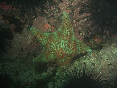 Starfish surrounded by Sea Urchins