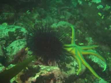 vicd1a-urchin-starfish