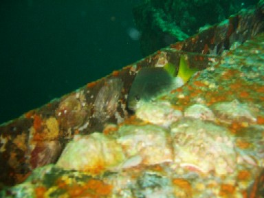 Damsel fish makes its home in the wreck