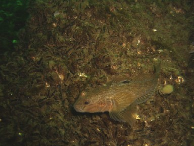 Near the bow, a Goby waits among the Zebra Mussels